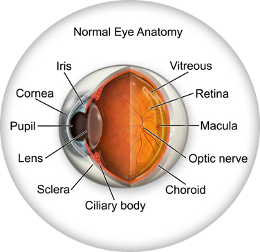 eye anatomy original